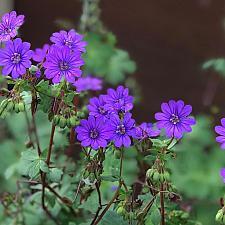 Geranium pyrenaicum 'Bill Wallis' - Cranesbill