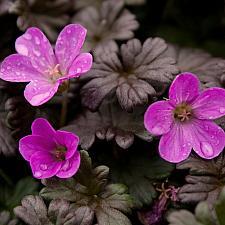 Geranium 'Bertie Crug' - Bertie Crug geranium