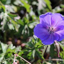 Geranium 'Johnson's Blue' - Cransebill