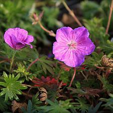 Geranium sanguineum 'Vision Violet' - Cranesbill