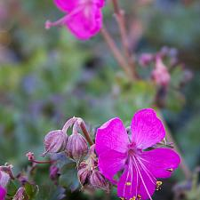 Geranium x cantabrigiense 'Crystal Rose' - Cranesbill