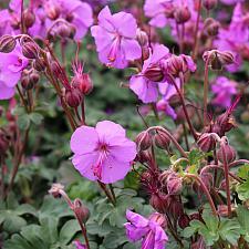 Geranium x cantabrigiense 'Karmina' - Cranesbill