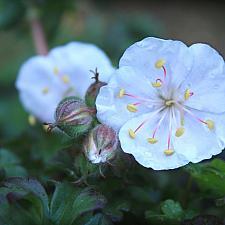 Geranium x cantabrigiense 'St. Ola' - Cranesbill