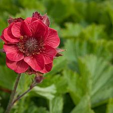 Geum 'Flames of Passion' - Avens