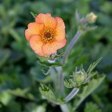 Geum 'Totally Tangerine' - Avens