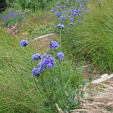 Gilia capitata - Blue gilia