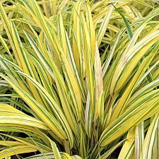 Hakonechloa macra 'Aureola' - Golden Japanese forest grass