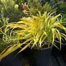 Hakonechloa macra 'Sunflare™' - Japanese forest grass