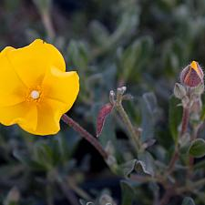 Halimium lasianthum 'Farrall' - Sunrose