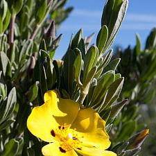 Halimium halimifolium f. maculatum - Sunrose