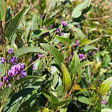 Hardenbergia violacea 'Walkabout Purple' - Vine lilac
