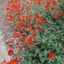 Helianthemum 'Henfield Brilliant' - Sunrose