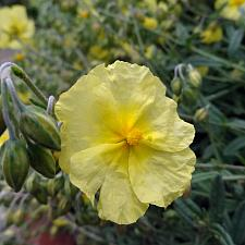 Helianthemum 'Wisely Primrose' - Sunrose
