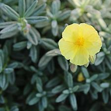 Helianthemum 'Annabel' - Sunrose