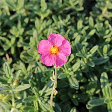 Helianthemum 'Ben Hope' - Sunrose