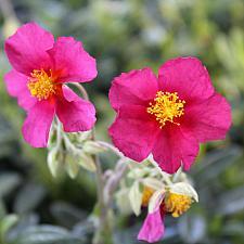 Helianthemum 'Hartswood Ruby' - Sunrose