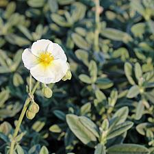 Helianthemum 'The Bride' - Sunrose