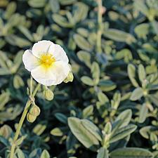 Helianthemum 'The Bride' - Sunrose
