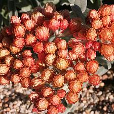 Helichrysum 'Ember Glow' - Strawflower