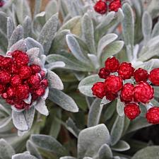 Helichrysum 'Red Jewel' - Strawflower