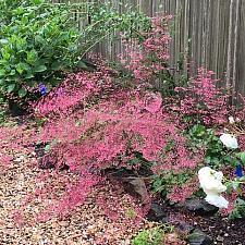 Heuchera micrantha 'Martha Roderick' - Coral bells