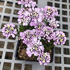 Iberis gibraltarica 'Lavish' - Evergreen candytuft