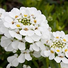 Iberis sempervirens 'Purity' - Candytuft
