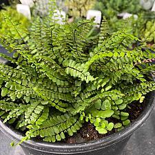 Asplenium trichomanes - Maidenhair spleenwort