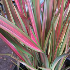 Our Plants Page 30 Native Sons Wholesale Nursery