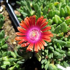 Delosperma 'Fire Spinner' - Fire spinner ice plant