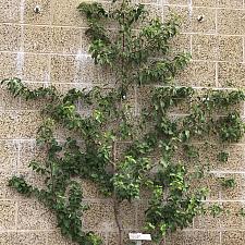 Prunus ilicifolia ssp. lyonii - Catalina cherry