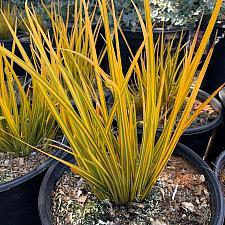Libertia ixioides 'Goldfinger' - New Zealand iris