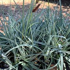 Carex flacca 'Blue Zinger' - Carnation grass
