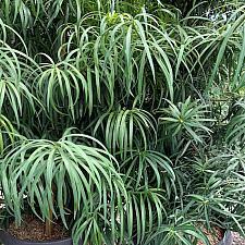 Podocarpus henkelii - Long leafed yellow-wood