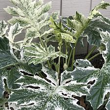 Acanthus 'Whitewater' - Bear's Breeches