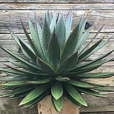 Agave 'Blue Glow' - Agave