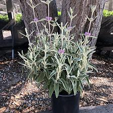 Phlomis purpurea - Jerusalem sage