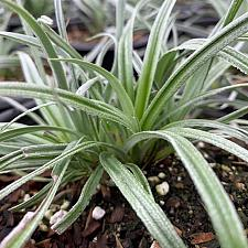 Astelia chatamica x nervosa 'Silver Shadow' - Silver astelia