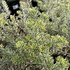 Westringia 'Wynyabbie Highlight' - Coast rosemary