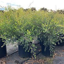 Leptospermum laevigatum - Australian tea tree
