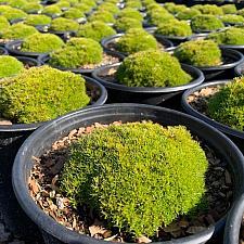 Scleranthus biflorus - Australian astroturf