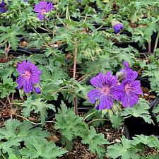 Geranium 'Sabani Blue' - True geranium
