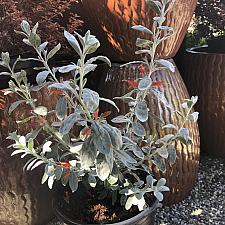 Eremophila glabra 'Fire and Ice' - Emu Bush