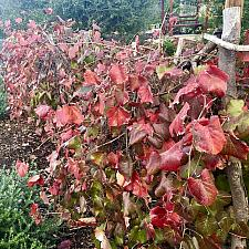 Vitis 'Roger's Red' - Wild grape