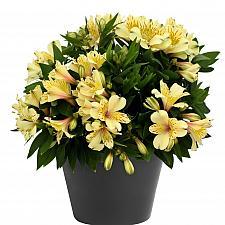 Alstroemeria 'Inca Safari Gold' - Peruvian lily