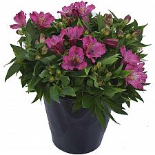 Alstroemeria 'Inca Goal' - Peruvian Lily