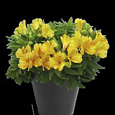 Alstroemeria 'Inca Gold Rush'® - Peruvian lily
