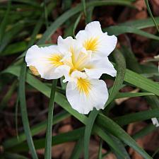Iris 'Canyon Snow' - White sword lily