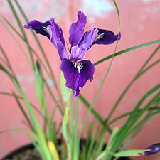 Iris innominata - Wild iris