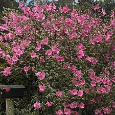 Lavatera thuringiaca 'Kew Rose' - Tree lavatera